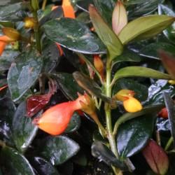 Black Gold Goldfish Plant