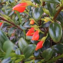 christmas holly goldfish plant