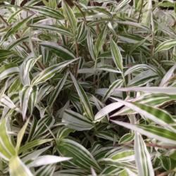basket grass