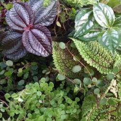 3 plant pilea collection