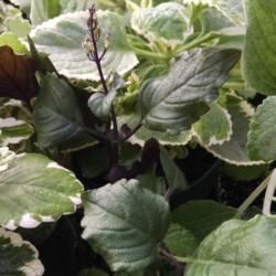 3 plant plectranthus collection