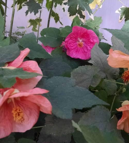 Bella Mix Flowering Maple Abutilon
