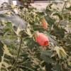 souvenir de bonn flowering maple Abutilon