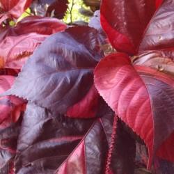 bronze pink joseph's coat Acalypha