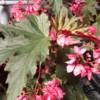 lana begonia