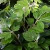 oak leaf ivy Cissus