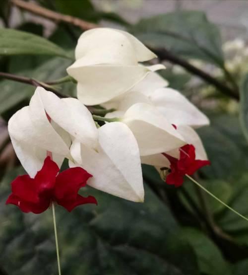 bleeding heart vine Clerodendron