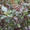 coppershine coprosma