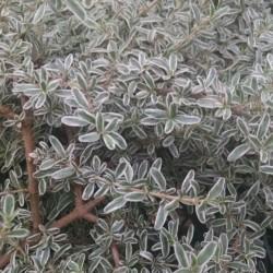 dwarf mirror plant Coprosma