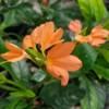 Tropic Flame Crossandra