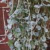 silver falls dichondra