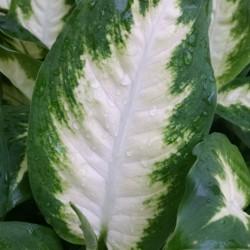 camille dieffenbachia