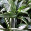 compact warneckii dracaena