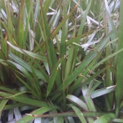 marginata dracaena cane