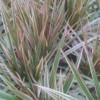 tricolor dracaena cane