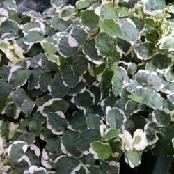 variegated creeping fig ficus