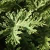 citrosa scented geranium