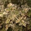 variegated rose mint scented geranium