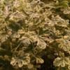 variegated nutmeg scented geranium