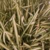 st augustine's grass