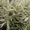icicles licorice plant Helichrysum
