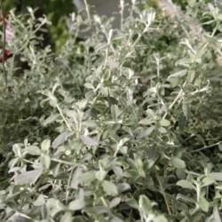 silverstar licorice plant Helichrysum