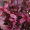 red splash polka dot plant hypoestes