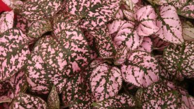 Pink Splash Polka Dot Plant Hypoestes