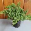 Japanese Garden Juniper Bonsai