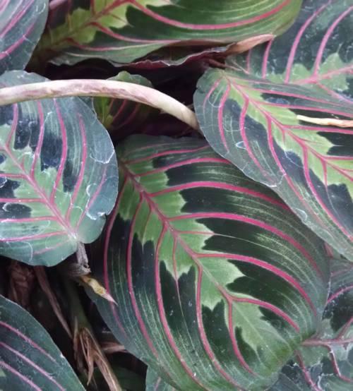 red prayer plant Maranta