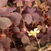 burgundy oxalis