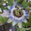 blue bahama passion flower