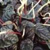 blacky ripple peperomia
