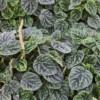 emerald ripple peperomia