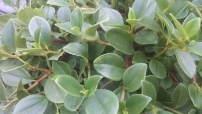 green trailing peperomia