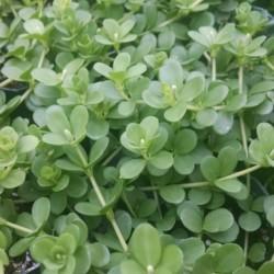 round leaf peperomia