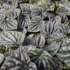 silver ripple peperomia