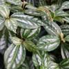 aluminum plant Pilea