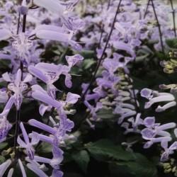 mona lavender plectranthus