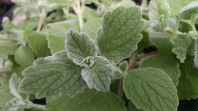 silver plectranthus