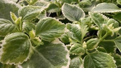 variegated cuban oregano Plectranthus