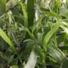 ribbon plant, Tapeworm Plant