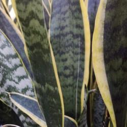 variegated snake plant Sansevieria