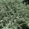 silver santolina lavender cotton