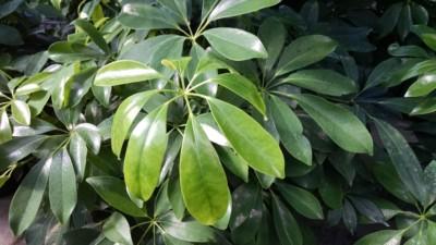 schefflera umbrella plant