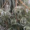 bonnie spider plant