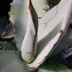 titanota agave