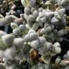 ice plant Delosperma