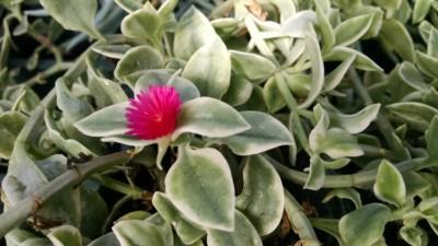 mezoo doroeanthus