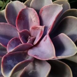 perle von nurnberg echeveria